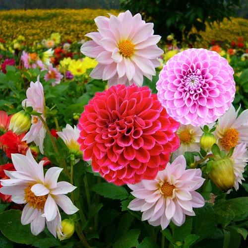 Hoa Thược Dược là loài hoa quen thuộc của người Việt Nam