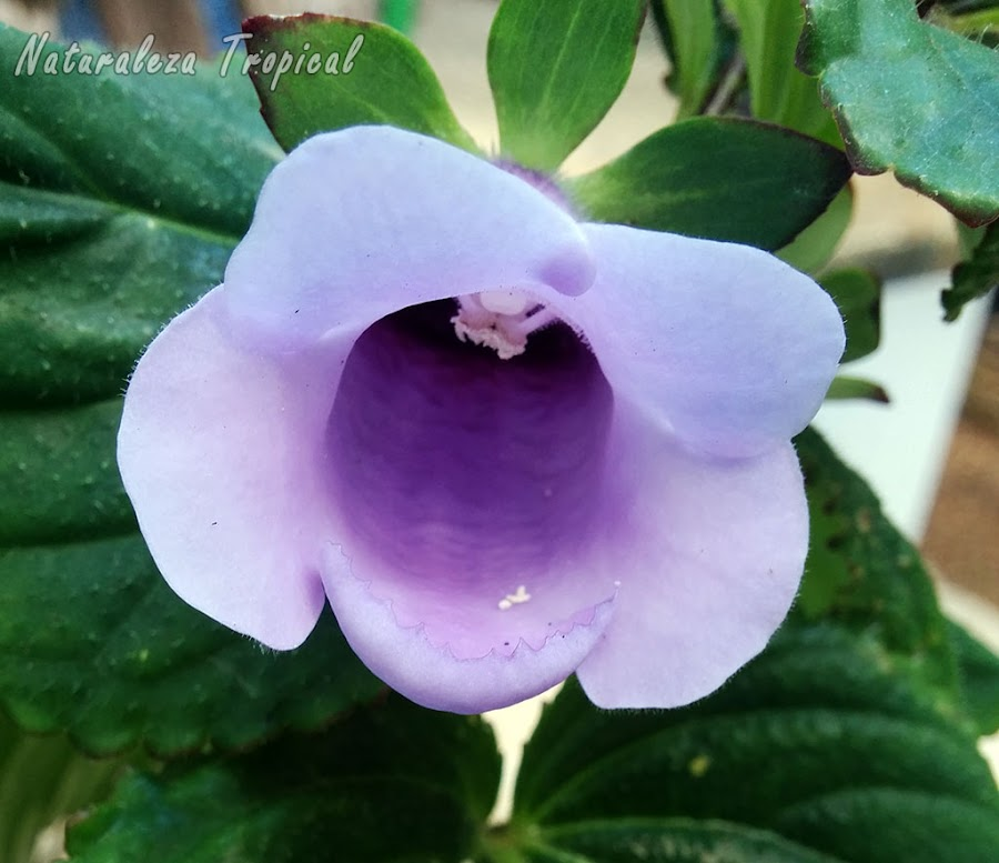 Flor característica de una especie del género Gloxinia