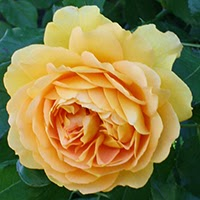 Golden Celebration (Rosa Inglese)