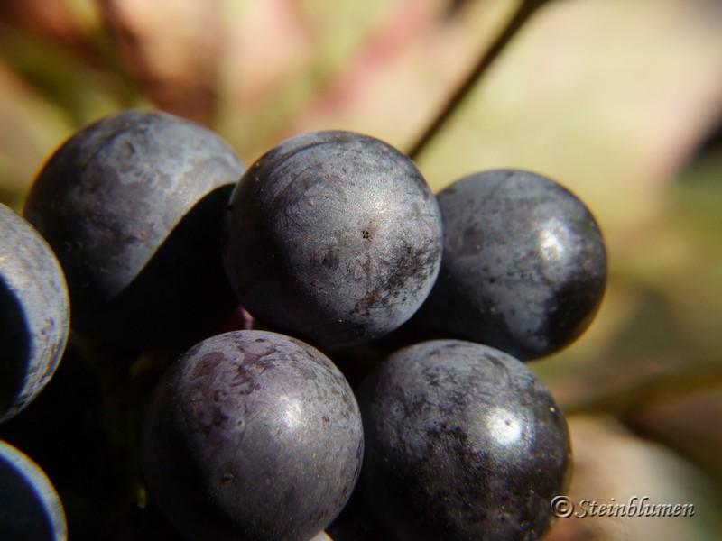 Makro Weintrauben