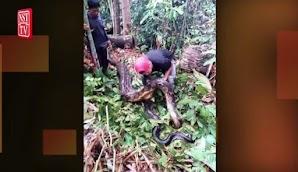 Geger Penemuan Ular Piton Raksasa di Dalam Batang Pohon