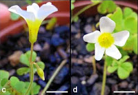 http://sciencythoughts.blogspot.co.uk/2015/02/two-new-species-of-oxalis-from-northern.html