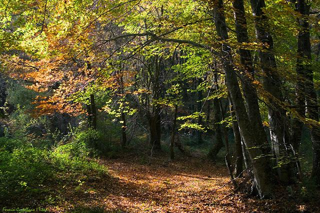 Bosque de hayas en otoño