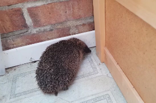 Hedgehog in the house