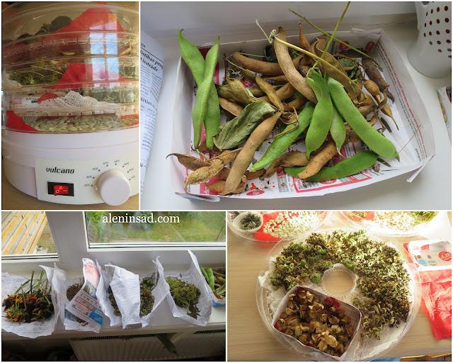 свои семена, сбор семян, аленин сад, семена фасоли, физалиса, календулы, электросушилка, сушилка, сушка,