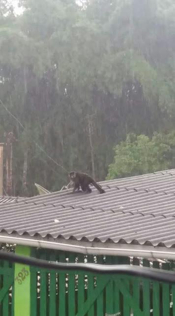 Macaco aparece no Centro de Sete Barras