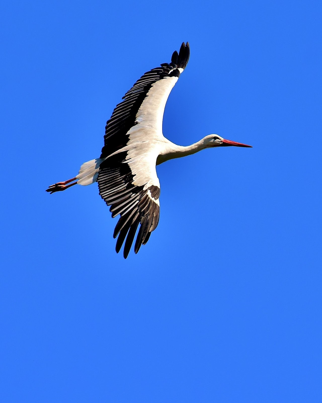 Picture of a stork in flight.