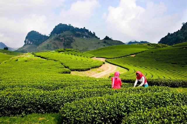 Moc Chau - Spectacular Plateau in the Northwest Mountainous Region