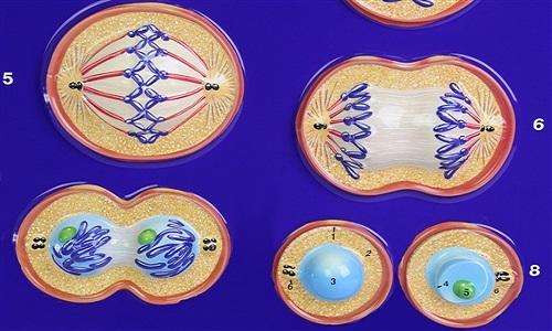 Mitoz Bölünmenin Özellikleri