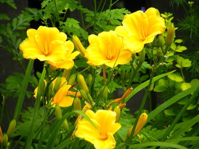 Stella d'Oro Yellow Daylily