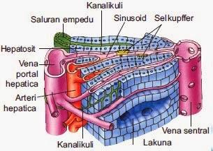 http://www.materisma.com/2014/06/penjelasan-sistem-ekskresi-paru-paru.html