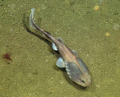 Lollipop sharks have large heads and gills, which may help them absorb oxygen in low-oxygen environments. planet-today.com