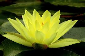 la fleur de lotus jardin et fleurs. Black Bedroom Furniture Sets. Home Design Ideas