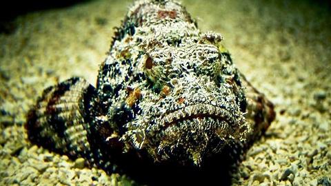 taş balığı