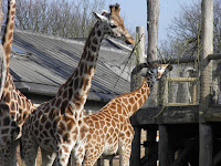 Giraffe - ZSL London Zoo