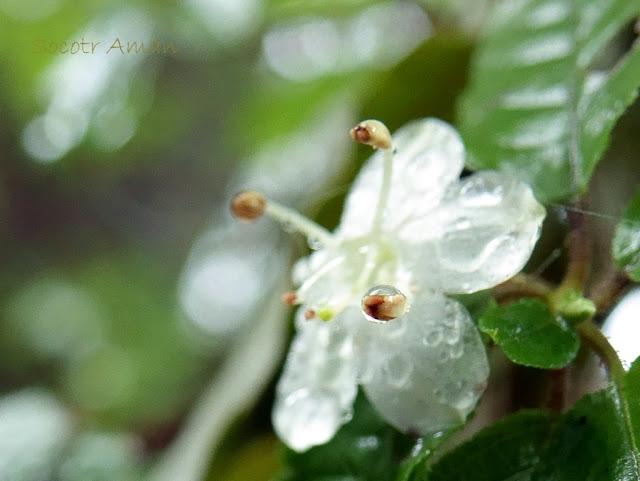 Rhododendron semibarbatum