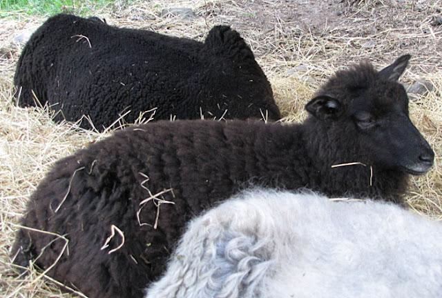 Anttolanhovi eläimet Anttolanhovi lemmikit Anttolanhovi kotieläimet Anttolanhovi animals lambs