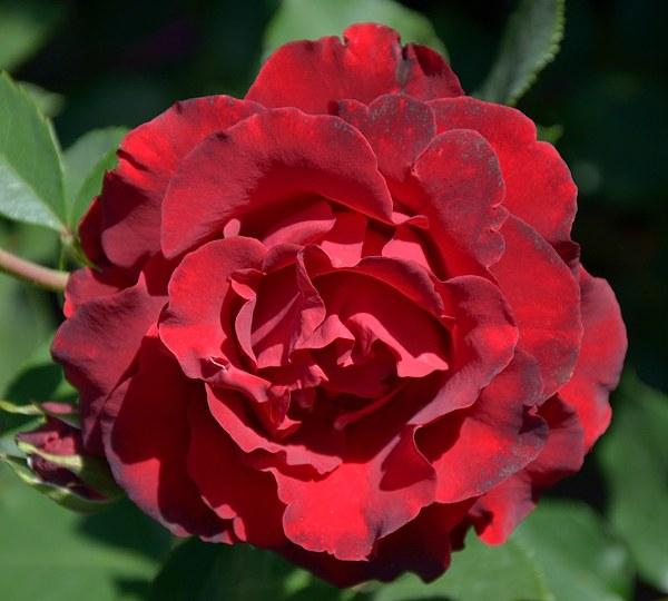 Hommage a Barbara сорт розы фото
