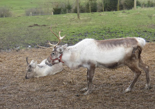 reindeer on Gower