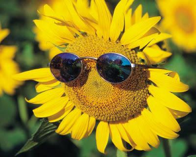 Hoa hướng dương đẹp nhất thế giới 8