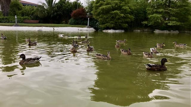 Patos en el estanque del jardín botánico