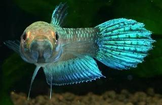 Betta unimaculata - Jenis Ikan Cupang