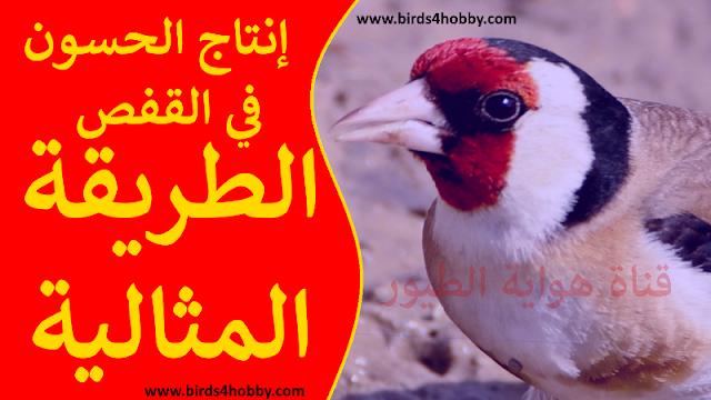 كيفية إنتاج طائر الحسون في القفص بسهولة