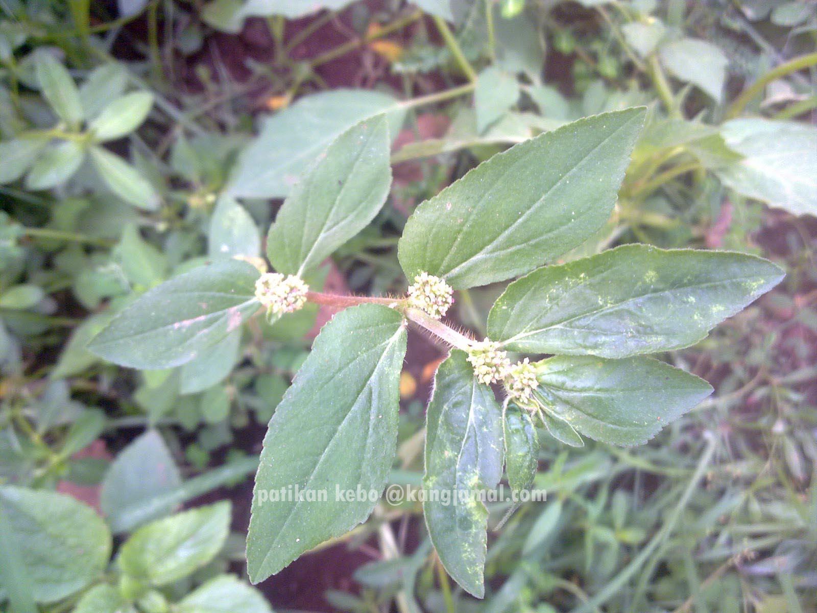 3 Jenis Rumput Makanan Jangkrik Paling Bagus Dan Gratis Dari Alam