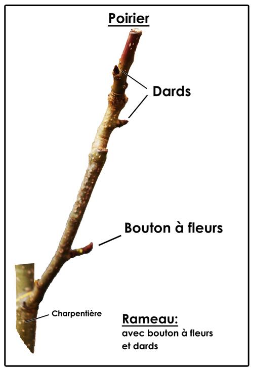 la taille du poirier biologique rameau avec dards et bouton à fleurs