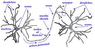 saraf tubuh manusia: dendrit, axon, synapse
