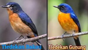 Seperti judulnya kini kita akan membahas ihwal  Perbedaan Burung Tledekan Gunung Dan Bakau