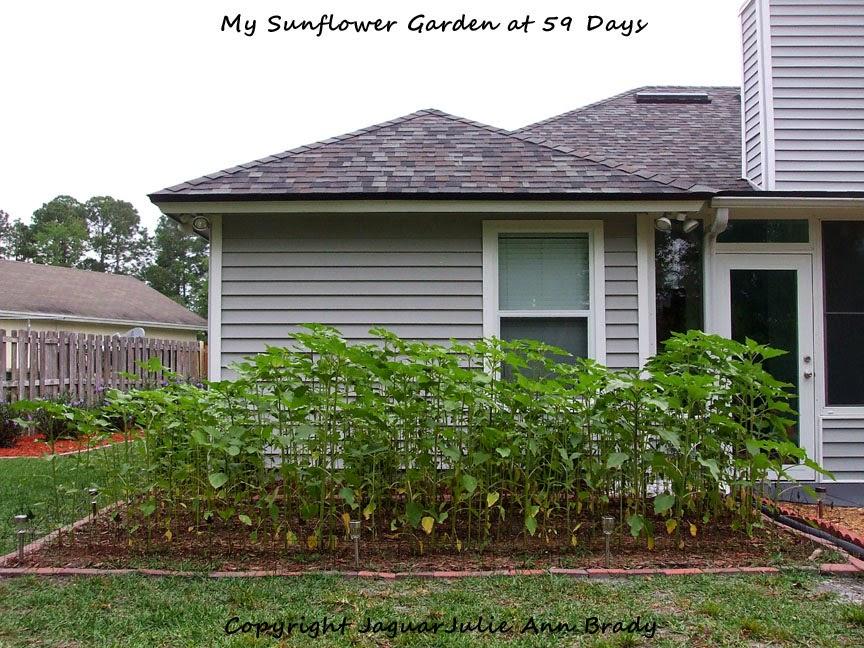 My Sunflower Garden at 59 Days ~ JaguarJulie
