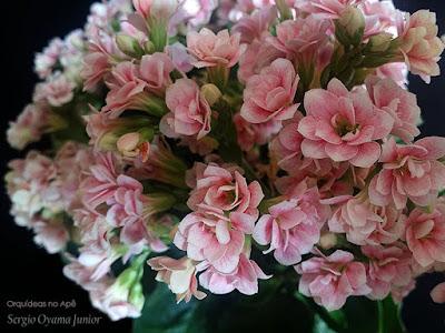 Flores dobradas da suculenta Calandiva