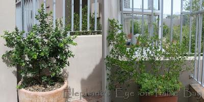 Searsia crenata in pots for privacy