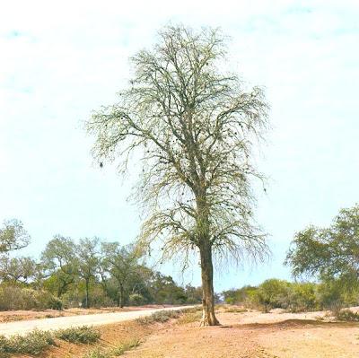 arboles argentinos Palo santo Bulnesia sarmientoi
