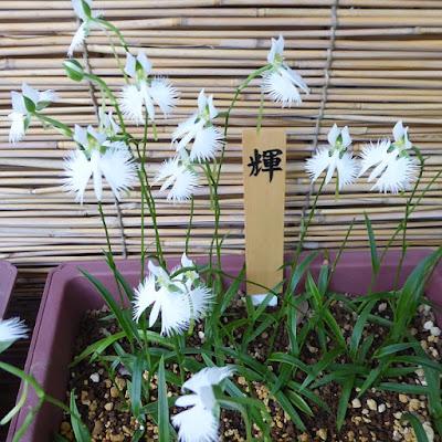 坐摩神社 サギソウ 「輝」