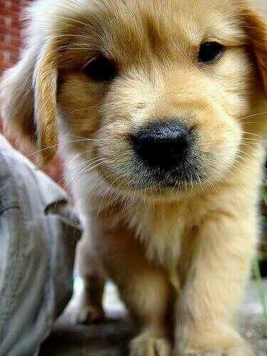 See more golden puppy http://cutepuppyanddog.blogspot.com/