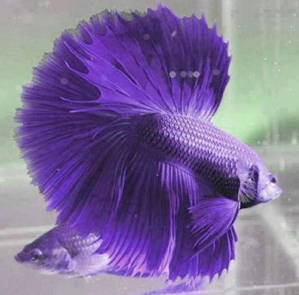 580+ Gambar Ikan Cupang Ganas Gratis