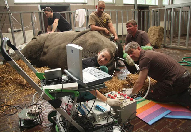 Tinuku Scientist team working on IVF to save northern white rhino