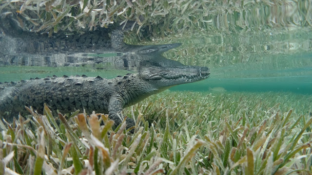 Crocodile waits in seagrass