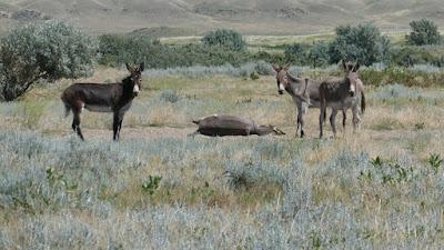 Medicine Hat, Alberta, ranch, donkeys, animals, mammoth