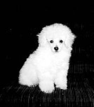 poodle puppies