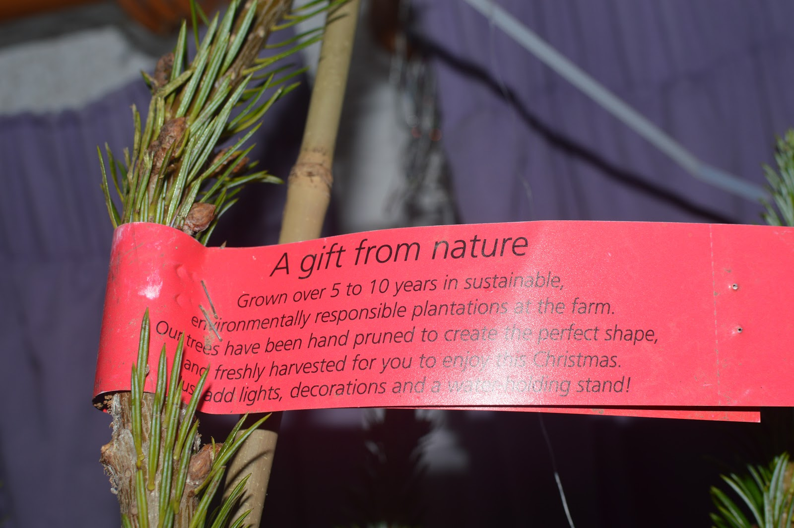, Choosing a Real Christmas Tree with Pines and Needles
