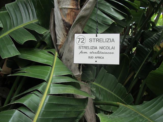 Foglie Strelitzia