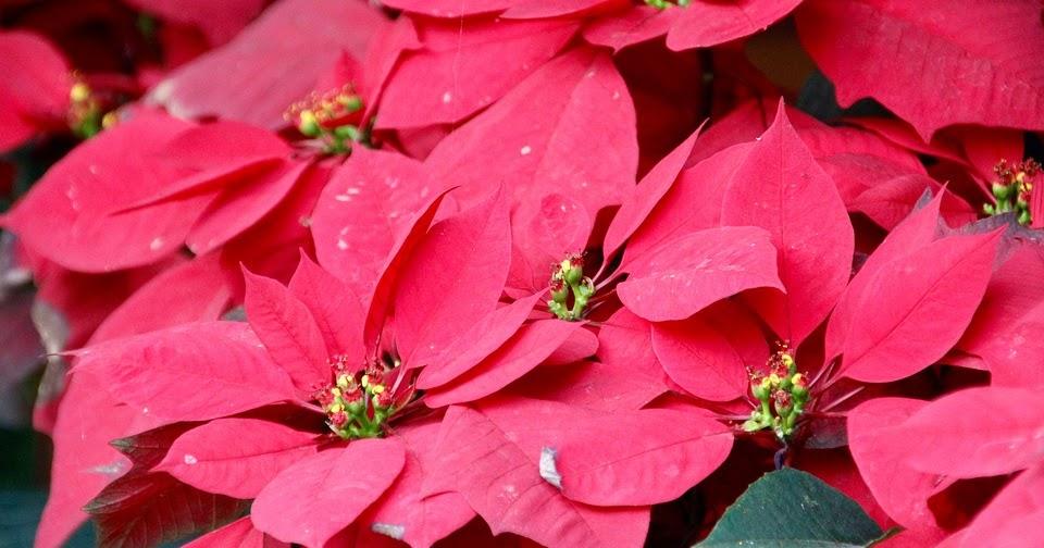 Cuidados de la flor de pascua o estrella federal entre - Flor de pascua cuidados ...