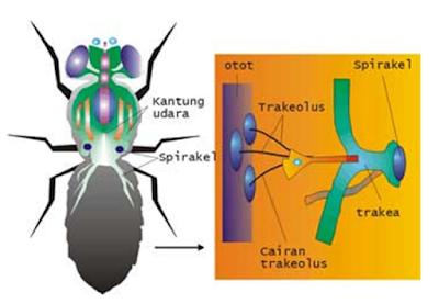 Respirasi pada serangga