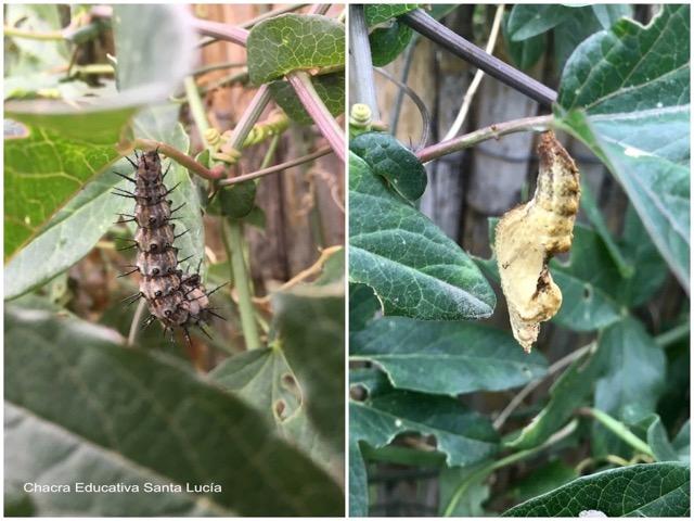 Oruga y pupa de mariposa espejito - Marcos L para Chacra Educativa St. Lucía