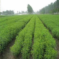 ACI Agro Solution Stevia Cultivation Consultance, Aloevera Cultivation Consultancy