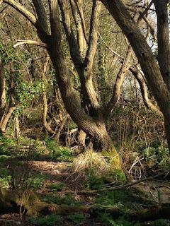 Higgledy piggledy willow trees