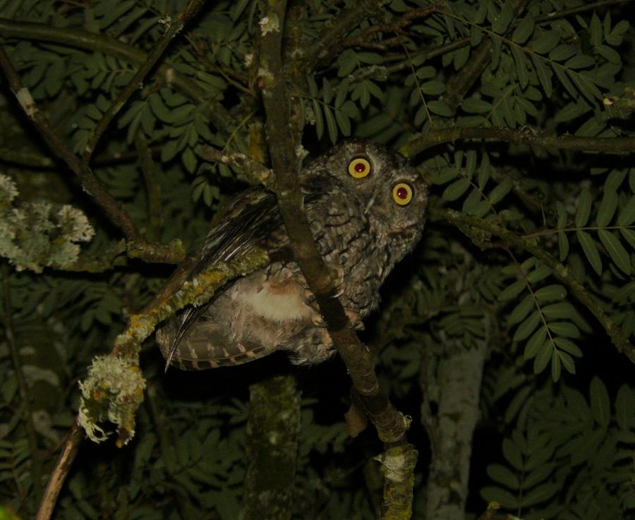 Portland Birder: Barred Owl  Owls Portland Oregon